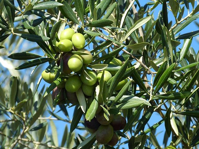 L'huile d'olive, un produit miracle pour votre peau